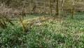 03-der-Wald-voller-Märzenbecher