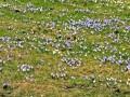 Krokusblüte am Hündle