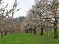 Kirschblütenwanderung bei Sipplingen